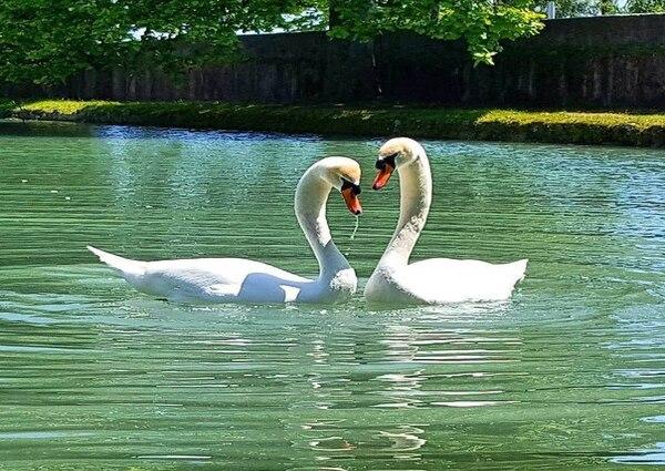Лебеди фото с Афона